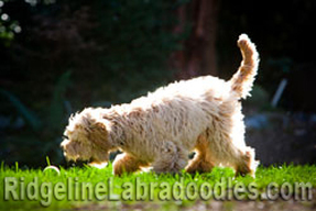 Quality Australian Labradoodle Breeder - Health Testing