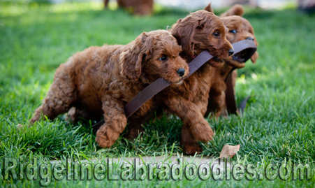 Medium Red Australian Labradoodles help with Leash Training