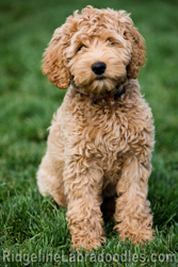 Breed Info Australian Labradoodle History And