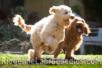 Medium Cream and Chocolate Australian Labradoodles at play