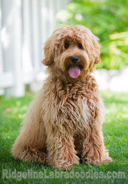 Our Dogs Labradoodles In Red Apricot Cream And Chocolate